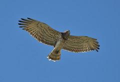 Circaetus gallicus (MoGoutz) Tags: gallicus circaetus eagle shorttoed φιδαετόσ λίμνη κορώνεια άγιοσ βασίλειοσ lake koroneia