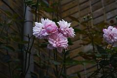 DSC_0948 (PeaTJay) Tags: nikond750 london chiswick macro micro closeups gardens outdoors nature flora fauna plants flowers
