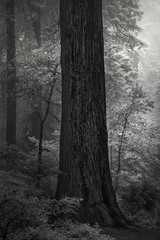 Among Giants (nlwirth) Tags: redwoods redwood tree trees forest fog mist light trunk infrared ir nlwirth yup blackandwhite monochrome