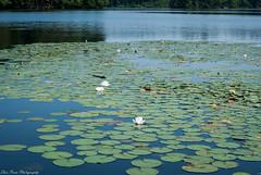 Exploring a lily pond. (kuntheaprum) Tags: paddleboarding photography stearnspond lotus flower mushroom nixy nikon d80 50mm f18