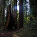 Henry Cowell Redwoods State Park - California