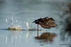 Gerbes de cristal (Jacques GUILLE) Tags: oiseau domainedesoiseaux canardcolvert décollage eau reflets gerbe 09 anasplatyrhynchos anatidés ansériformes ariège mallard mazères bird