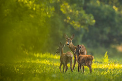 Doe & fawns (adambotond) Tags: roedeer europeanroedeer deer capreoluscapreolus ruminant animal outdoor wildlife wildlifephotography wilderness wildanimal nature naturephotography adambotond forest grass hungary magyarország mammal europe európaiőz canoneos1dx canonef400f4doisiiusm canonefextender2xiii goldenhour doe fawn magyar