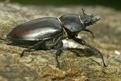 Lucanus cervus - Femelle. (chug14) Tags: macro insecte nature naturephotography unlimitedphotos animalia arthropoda hexapoda insecta coleoptera lucanidae lucane cerfvolant scarabaeuscervus lucanus lucanuscervus scarabaeoidea