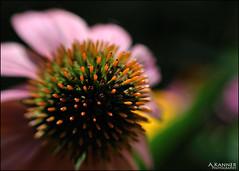 Garden Flowers... (angelakanner) Tags: canon70d lensbaby sol45 closeup garden longisland flowers summer bokeh
