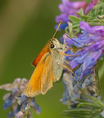2018_07_0365 (petermit2) Tags: smallskipperbutterfly smallskipper butterfly northcavewetlands northcave brough eastyorkshire eastridingofyorkshire yorkshire yorkshirewildlifetrust ywt wildlifetrust wildlifetrusts