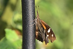 American Snout (deanrr) Tags: americansnout butterfly backyardbutterfly morgancountyalabama alabama alabamanature 2018 summer snout