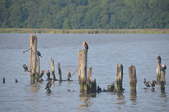 Pilings and Waterfowl 4 (rchrdcnnnghm) Tags: abandoned dock pier ferryslip pilings birds waterfowl piermontny rocklandcountyny