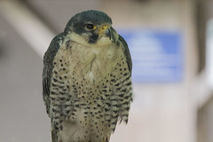 IMG_5209 (Rorals) Tags: falcon peregrinefalcon bird birdsofbritain birdofprey predator raptor wildlife ukwildlife rspb llbopc lochlomondbirdofpreycentre