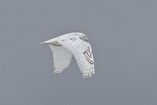 Snæugla-Snowy Owl-Bubo scandiacus