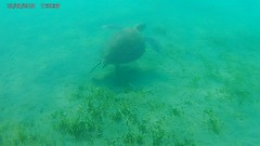 A huge turtle swimming next to me in a Limassol beach (George M. Groutas) Tags: turtles turtle undewater limassol χελώνα χελώνεσ