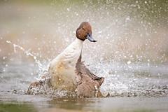 Splish Splash... (DTT67) Tags: northernpintail maryland duck 1dxmkii 500mm canon waterfowl nature wildlife
