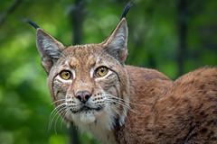 Luchs (Matthes S.) Tags: canon7dmarkii duisburg eurasianlynx fantasticnature kamera katzenartige luchs lynxlynx natur raubtier sigma150600mm1563dgsports säugetier tier zoo zooduisburg greatphotographers
