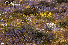 wildflowers (leonoos) Tags: wildflowers natural gardening