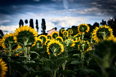 Whom are they waiting for? (iamunclefester) Tags: münchen munich sunflower waiting yellow green sky clouds dof behind tree trees leaves detail