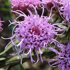 2018-08-22 Liatris aspera - BG Teplice (beranekp) Tags: czech teplice teplitz botanik botany botanic herbarium herbary herbář garden garten flora flower plant liatris