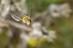 Hover guy (Paul Wrights Reserved) Tags: hoverfly hoverflies insect inflight insects insectinflight infocus wings hoverflyinflight flight flying eye eyes macro macrophotography nature naturephotography wildlifephotography wildlife