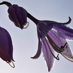 hosta blossom, shot looking up nearly into the Sun thumbnail