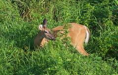 White-tailed Deer (Odocoileus virginianus) (Gavin Edmondstone) Tags: odocoileusvirginianus whitetaileddeer deer animal brontemarsh oakville ontario