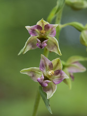 Epipactis helleborine (Kalmár Zsuzsanna) Tags: olympuse620 macro nature natur natura flower blume flor orchid orquídea orchidee epipactis epipactishelleborine