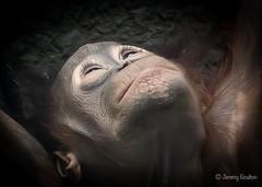 Up there (JKmedia) Tags: chesterzoo primates animals captive 2018 sonyrx10iii baby orangutan