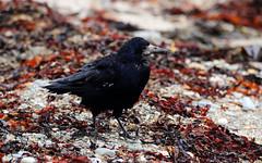 Rook. (Chris Kilpatrick) Tags: chris canon canon7dmk2 outdoor wildlife nature animal bird douglas isleofman beach rook corvid seaweed sigma150mm600mm