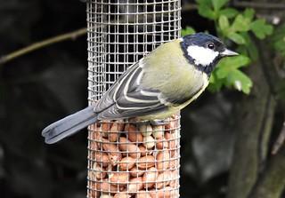 Great-Tit - Peanut Feeder - Lamesley Hide  (N)
