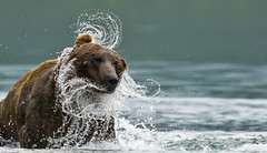 Water lace (paolo_barbarini) Tags: kamchatka kuril wildlife bears orsi water acqua lake nationalgeographic animalplanet