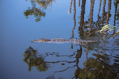 DSC_4519 (capt_tain Tom) Tags: gator alligator alligatorinswamp swamp trees marsh pond pondwithalligator reflection reflectionoftrees waterreflection