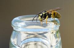 De gewone wesp (Vespula vulgaris) (eric zijn fotoos) Tags: animal holland macro nederland noordholland glas galss sonyrx10m3 macromonday's hmm outdoor wasp bij natuur insekt nature summer bee fauna buiten makro insect zomer wesp