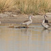 Anas capensis (Cape Teal)