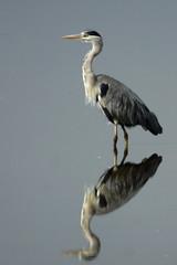 DSC08187 - Grey Heron (steve R J) Tags: grey heron strumpshaw fen rspb reserve norfolk birds british reflection