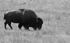 Home on the Range (Sun~Lover) Tags: montana western american bison nationalbisonrange mammals range grasslands monochrome blackwhite