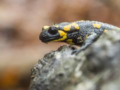 P9040027 (turbok) Tags: feuersalamander salamander tiere wildtiere