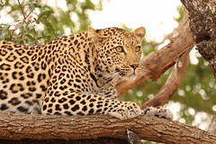 Leopard 3 (JH Byrne) Tags: leopard cat predator wildlife africa wild panther pantera spots tree kruger hunt prey female