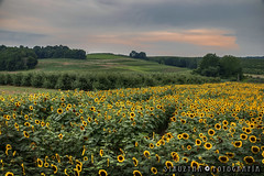 Under the Tuscan Sun Style (STRUZYNA PHOTOGRAPHY) Tags: struzyna fotografía kaleidoscopio kαλεîδοσκοπo photography middlefield ct usa connecticut summer 2018 vacations sunflower maze lymanorchards landscape field country nature flowers sunset tramonto sonnenuntergang hdr canon750d t6i tamron 18400mm lens
