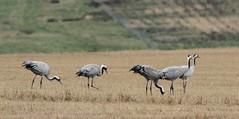 Common Crane.........Grus grus (gus guthrie1) Tags: aberdeenshire crane collieston feather plumage rarity ythan field scotland stubble straw
