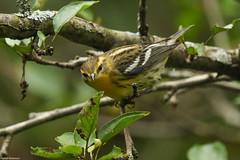 Blackburnian Warbler - Sep-08-2018 (2-1) (JPatR) Tags: 2018 blackburnianwarbler buffaloparkforestpreserve foxrivervalley illinois kanecounty september summer bird nature warbler wildlife