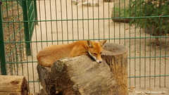 Resting Spot (bjacobdawson) Tags: animal cute enclosure feral fox germany park photo red tame vulpine zoo