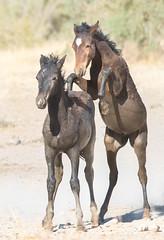 Wild Horses (Jami Bollschweiler Photography) Tags: filly kicking up heels wild horses utah wildlife photography only onaqui herd west desert stallion talking communication running mare