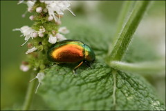 Shiny leaf beetle (catb -) Tags: france saintgeniès beetle leafbeetle insect macro bug dordogne leaf chrysolinaherbacea