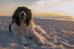 IMG_1128 (DirdyBeerdy) Tags: pyreneanmastiff mastiff dog bigdog beach sun sunset sea sky