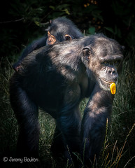 Mother and Baby (JKmedia) Tags: chimpanzee chimp ape monkey boultonphotography 2018 chesterzoo primate sonyrx10iii animal