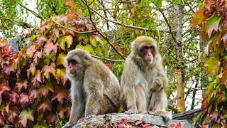 Deux singes en Automne - 5870