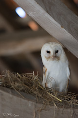 At Home In The Rafters (DanRansley) Tags: britain danransleyphotography england greatbritain tytoalba uk animal barn barnowl beams bird birdofprey birding nature ornithology owl wildlife