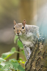 The Curious Grey Squirrel. (I'mDKB) Tags: 200500mm 2017 fairburnings may nikon nikond600 vr200500mmf56g squirrel imdkb naturereserve lightroom5 lr5 grey red easterngray sciuruscarolinensis