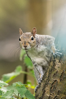 The Curious Grey Squirrel.