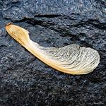 Maple Samara seed pod - Tête de semence de Samare thumbnail