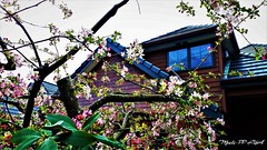 483. URBAN RUSTICS: Apple Blossom Cottage (Meili-PP Hua 2) Tags: spring blossoms petals blooms flowers buds pink crimson red sky mlpphflora photographypassionsxyz trees brances boughs sprigs cottage rustic springflowers tree flower