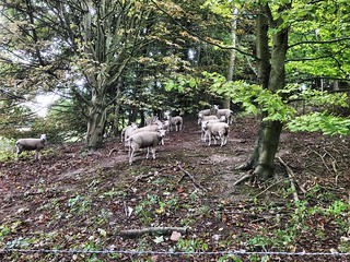 Wrong place - sheep in the woods....,